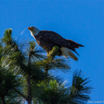 bald-eagle-2-large