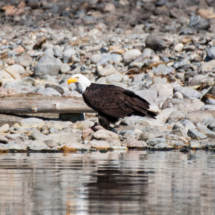 bald-eagle-eating-fish-onshore
