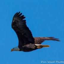 bald-eagle-in-flight-2-lake-siskiyou6-2015-large