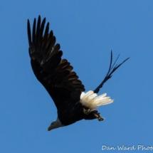 bald-eagle-in-flight-large