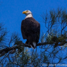 bald-eagle-in-pine-tree-large