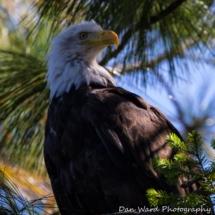 bald-eagle-large
