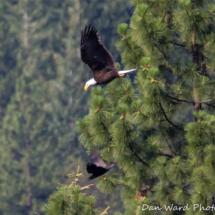 bald-eagle-raven-large