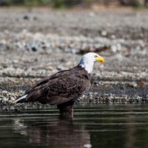 bald-eagle-in-lake-edge-large
