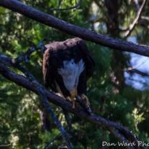 eagle-eating-fish-large
