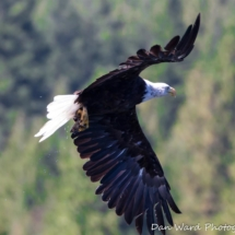eagle-with-trout-in-talons-large