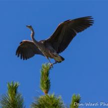 great-blue-heron-2-lake-siskiyou-large
