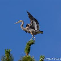 great-blue-heron-3-lake-siskiyou-large