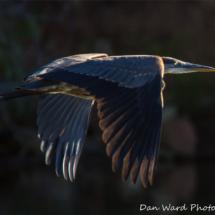 great-blue-heron-6-lake-siskiyou6-2015-large