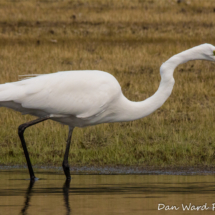 great-egret-large