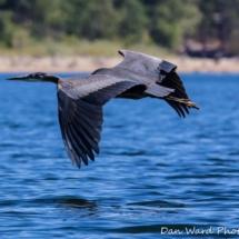 heron-in-flight-large