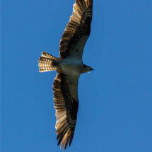 osprey-in-flight-large