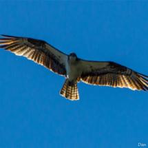 osprey-in-flight-over-lake-siskiyou-2-large