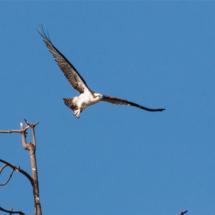 osprey-taking-off-large