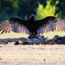 vulture-sunbath-large