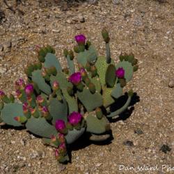 49-palms-oasis-trail-joshua-tree-park-blooming-cactus