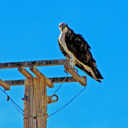 osprey-on-power-pole-mexico