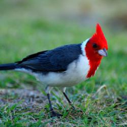 portugese-cardinal