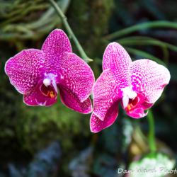 purple-orchid