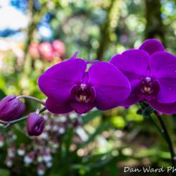 purple-orchids-3