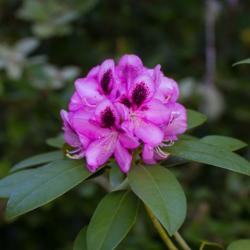purple-rhodie-flower