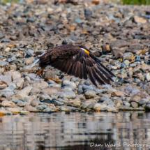 bald-eagle-in-flight