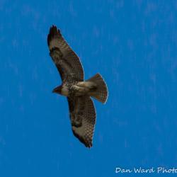 Ferruginous Hawk-1
