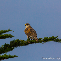 Ferruginous Hawk On Cypress