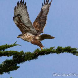 Feruginous Hawk Taking Flight-1