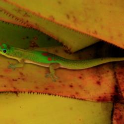 Gecko On Maui