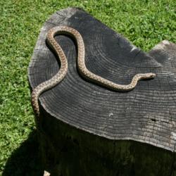 Gopher Snake-1
