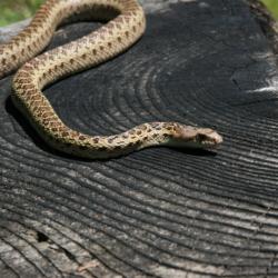 Gopher Snake-2