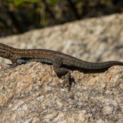 Lizard in Palm Canyon