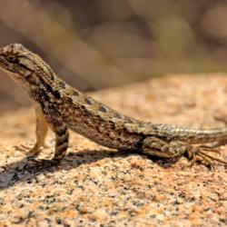 Western Fence Lizard-5