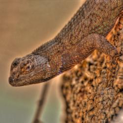 Western Fence Lizard-6