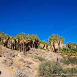 Andreas Canyon Palms-1