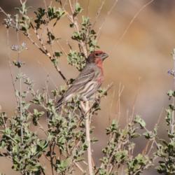 House Finch In The Desert