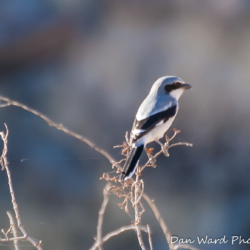 Loggerhead Shrike-1