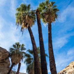 Murray Canyon Palms-2