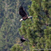 bald-eagle-raven-large
