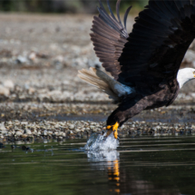 bald-eagle-taking-off-large