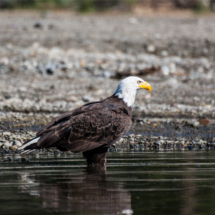 bald-eagle-in-lake-edge-large