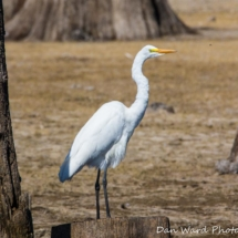 egret-on-a-stump-large