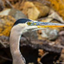 great-blue-heron-1-large