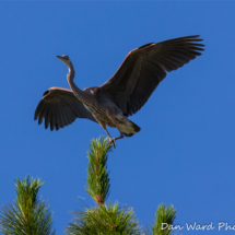 great-blue-heron-2-lake-siskiyou-large