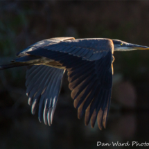 great-blue-heron-6-lake-siskiyou6-2015-large