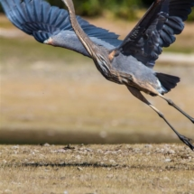 great-blue-heron-take-off-large