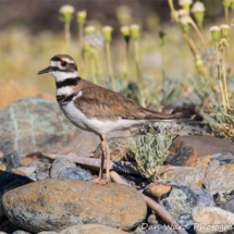 killdeer-plover-2-lake-siskiyou6-2015-large
