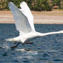 mute-swan-taking-flight-large