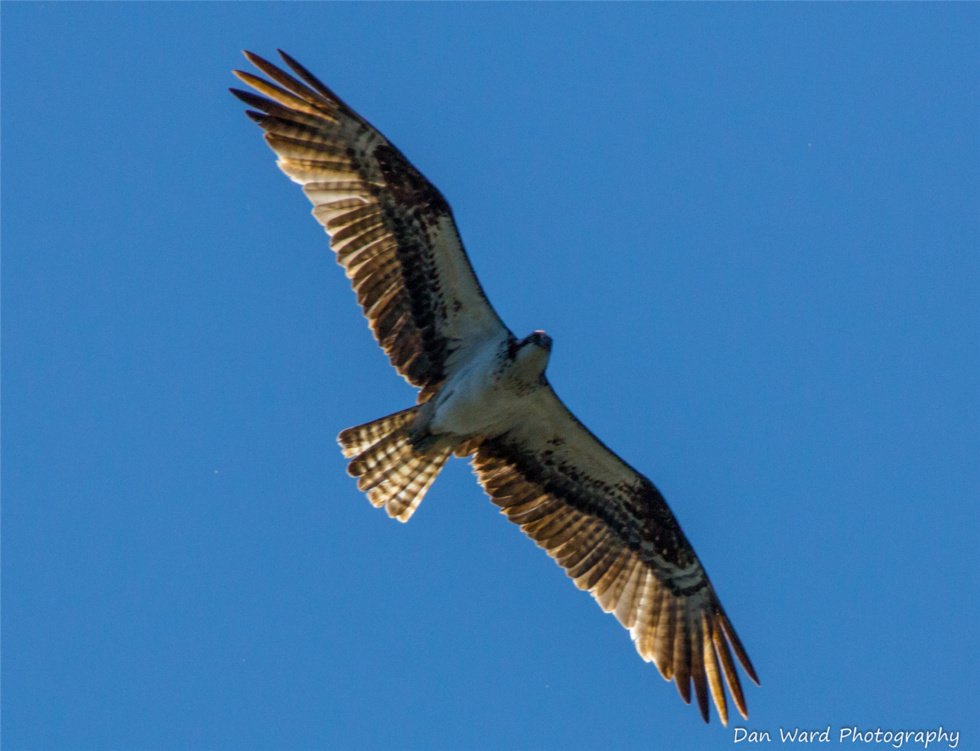 osprey-in-flight-over-lake-siskiyou-large